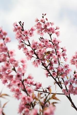 fleur de cerisier: Cerise sauvage de l'Himalaya fleurs à Chiang Mai, Thaïlande Banque d'images