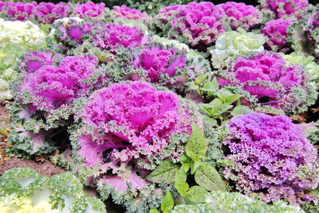 flowering kale: Closed Up Ornamental Kale, Flowering Kale Stock Photo