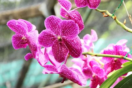 thai orchid: Thai Orchid in Botanic Garden Chiang Mai, Thailand