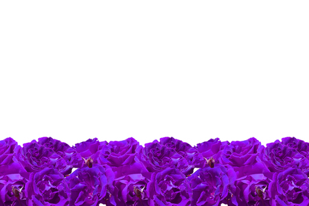 purple roses: Isolated Purple Roses Frame for background or wallpaper
