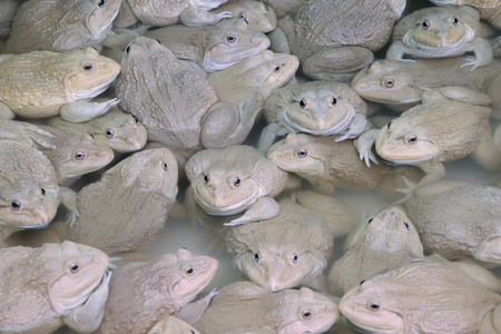 bullfrog: Frogs in the farm - Chinese edible frog, East asian bullfrog, Taiwanese frog
