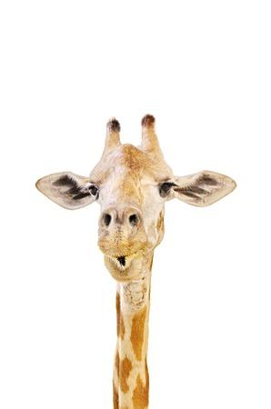 animal head giraffe: Animal head - Giraffe isolated on white background