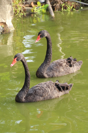 black feathered: A pair of Black Swan in the Lake