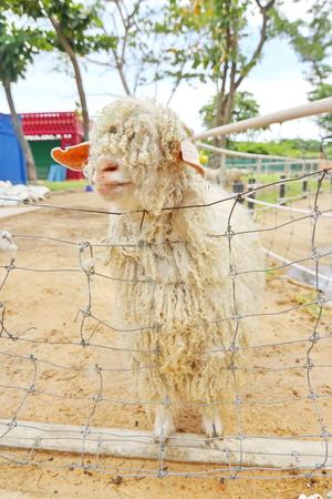 mohair: Angora goat in Phetchaburi Thailand