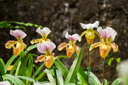 Closed up Paphiopedilum orchid in Doi Tung, Chiang Rai, Thailand Stock Photo