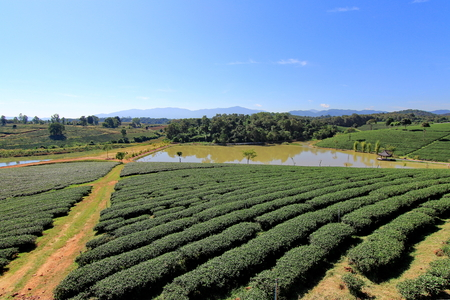 Path in the tea plantation blue sky background Stock Photo