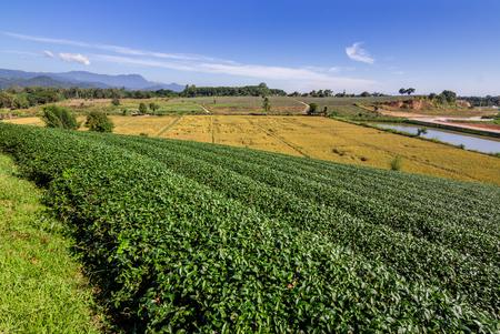 Tea plantation, tea field, tea farm Stock Photo