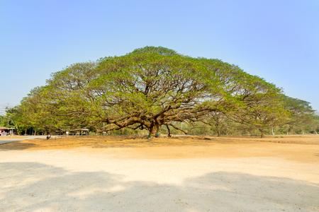 kanchanaburi: The Giant tree - Rain tree in Kanchanaburi, Thailand
