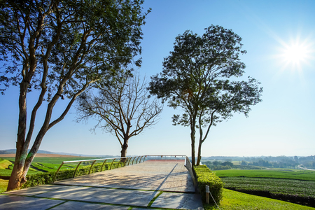 Trees and view point in tea plantation in Chiang Rai, Thailand.