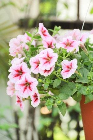 Pink petunia flower for garden and beautiful home