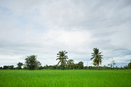 Green rice field with minimal tree in a cloudy day Sukhothai Province, Thailand