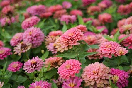 Closed up group of pink zinnia flower in flowerbed. 免版税图像