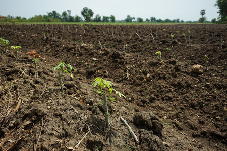 Cassava plantation for flour, MSG and ethanol industry. Stock Photo
