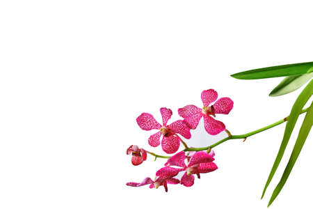 Beautiful bunch of pink orchid isolated on white background.