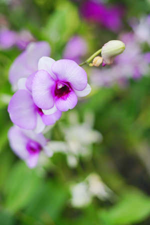 Closed up shot beautiful purple orchid in the garden. Imagens