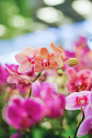 Closed up shot beautiful pink orchid in the garden.