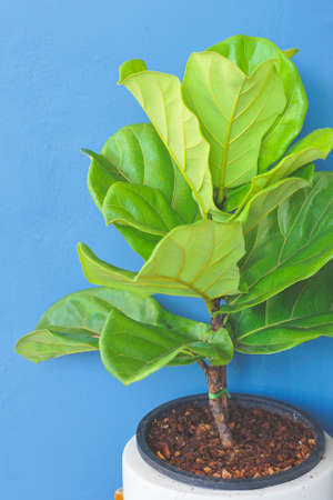 Close up view of Fiddle leaf fig, Ficus lyrata a good plant for decorate home or room. Imagens
