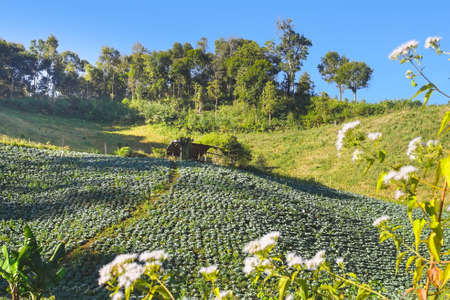 Beutiful cabbages plantation on mountain in Mae Hong Son province, Thailand.