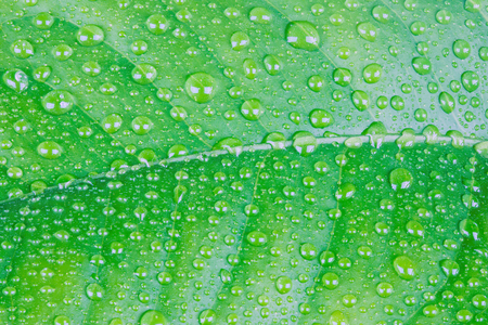 The wet leaf of the lemon tree with the drops of rain or dew. The macro shot is made by means of stacking technology