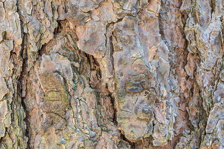 The pine bark texture or background. The macro shot of tree stump. The shot is made by means of stacking technology Stock Photo