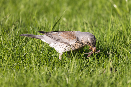 The fieldfare or Turdus pilaris on the grass in a sunny day Standard-Bild - 101309808
