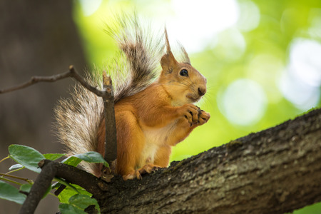 The squirrel sitting in the branch of a tree in the park on the warm sunny summer day. The squirrel is eating a nut-and-hole eating between his paws on the background of green leaves Stock Photo