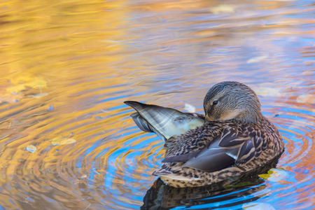 The duck or drake in the city lake Stock Photo