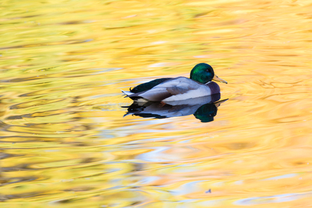 The duck or drake in the city lake Фото со стока