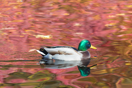 The duck or drake in the city lake Stok Fotoğraf