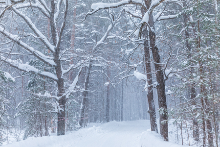 Blizzard in winter forest Banco de Imagens