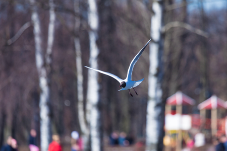 The flying gull in the park