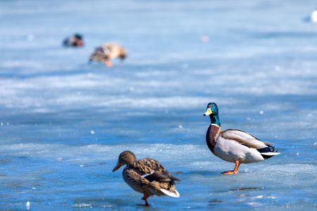 Duck and drake on the winter pond