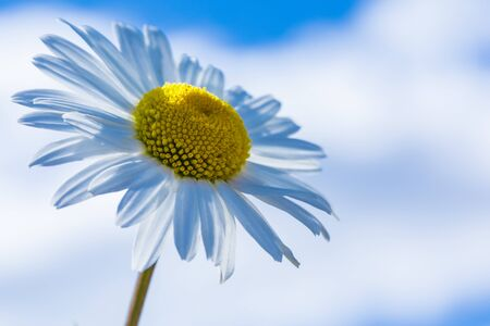 Daisy flower macro shot