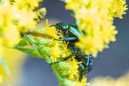 The beetle on the yellow flowers Stock Photo