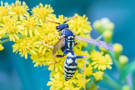The wasp on the yellow flowers 免版税图像