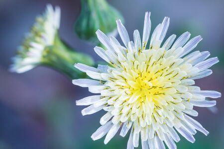 White and yellow summer flower