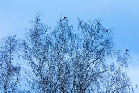 Migrating birds on branches of poplar or birch tree