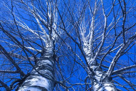 Two birch tree with crossing branches and blue sky