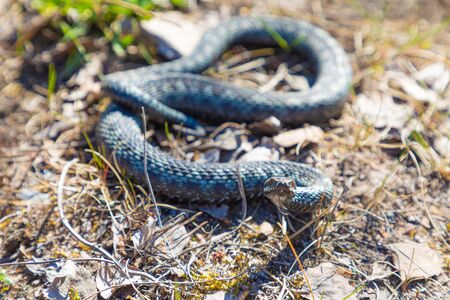 Gray viper or adder in attacking or defencive pose