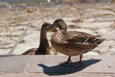 palmiped: a lillte duck at the lake Stock Photo