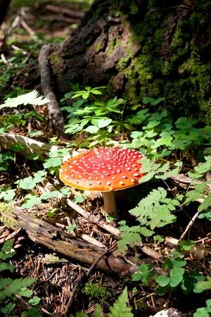 Amanita muscaria very poisonous mushrooms do not eat Stock Photo - 10792759