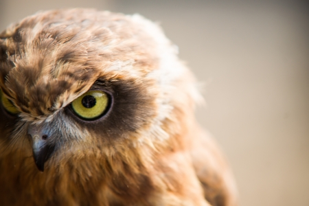 angry face of an owl photo
