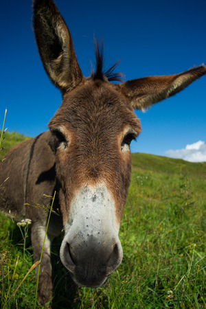 dun: donkey on a meadow in the high mountains in summer