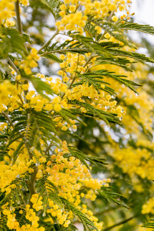 early blossoms: mimosa blossoms in early spring on a sunny day