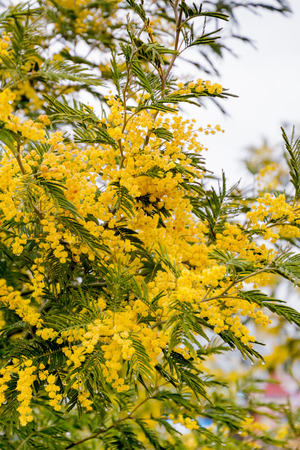 wattle: mimosa blossoms in early spring on a sunny day