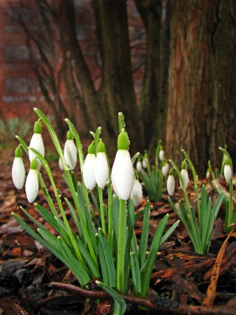 First snowdrops (Galanthus nivalis) covered with dewdrops early in the morning - spring is in the air photo