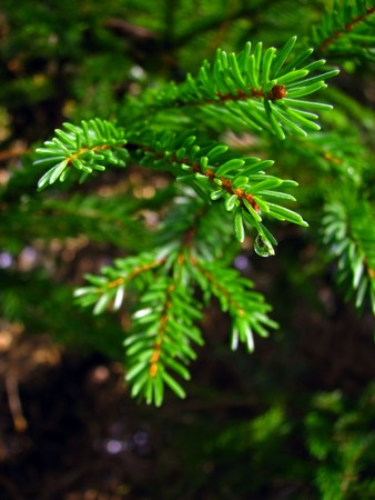 dewdrop: Dewdrop on the needle of the spruce