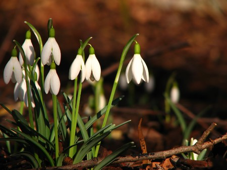 First snowdrops (Galanthus nivalis) in the sunlight - spring is in the air Stock Photo - 7399035