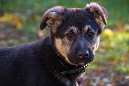 Adorable black and brown crossbreed puppy (German Shepherd and Newfoundland mix) photo