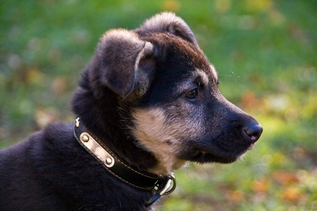 Cute puppy; crossbreed between German Shepherd and Newfoundland photo